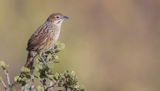 cape_grassbird