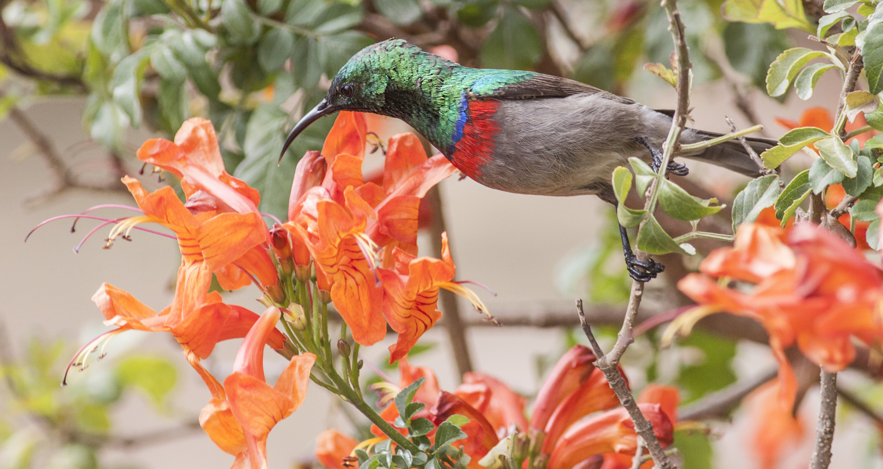 lesser double collared sunbird