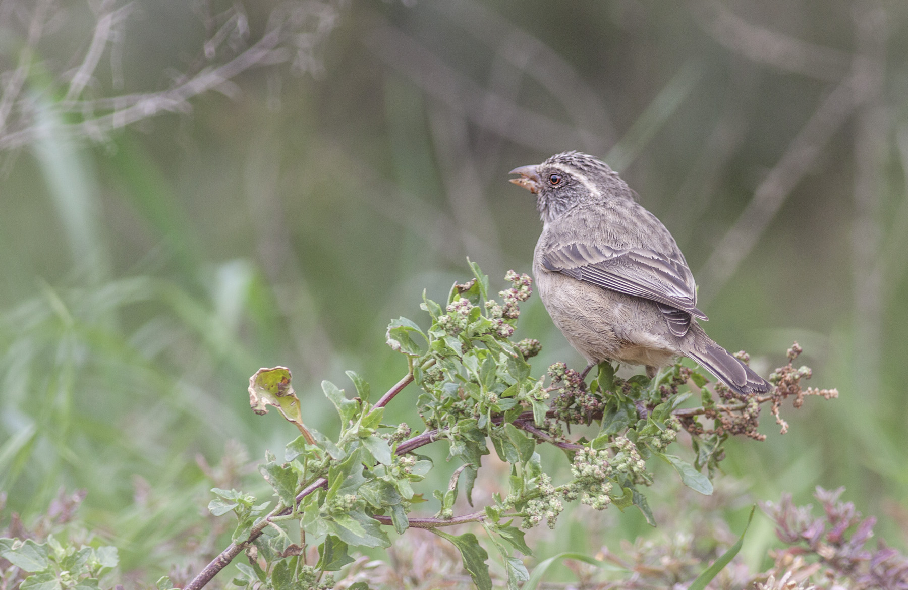 Streaky Headed Seedeater