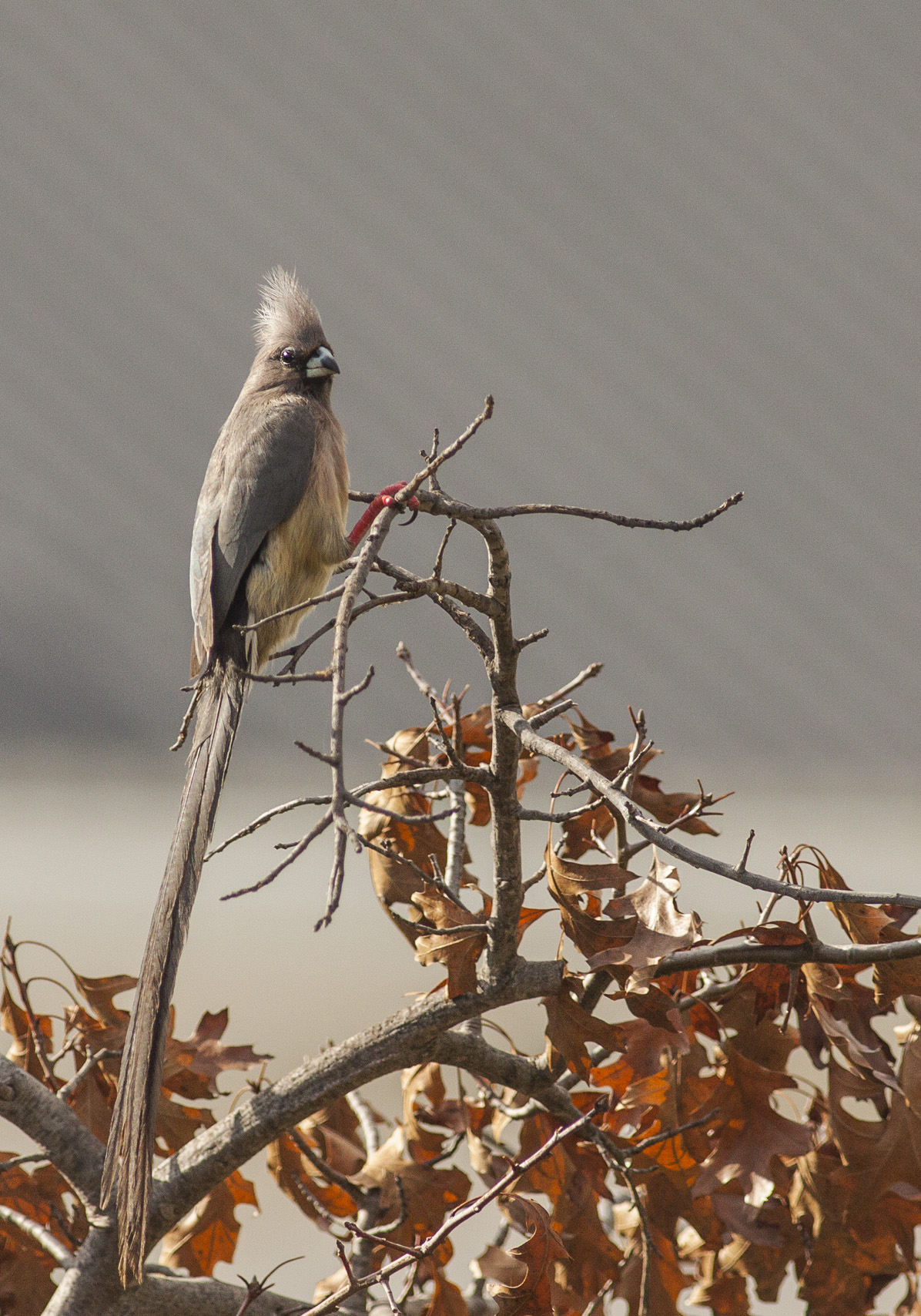 white-backed-mousebird
