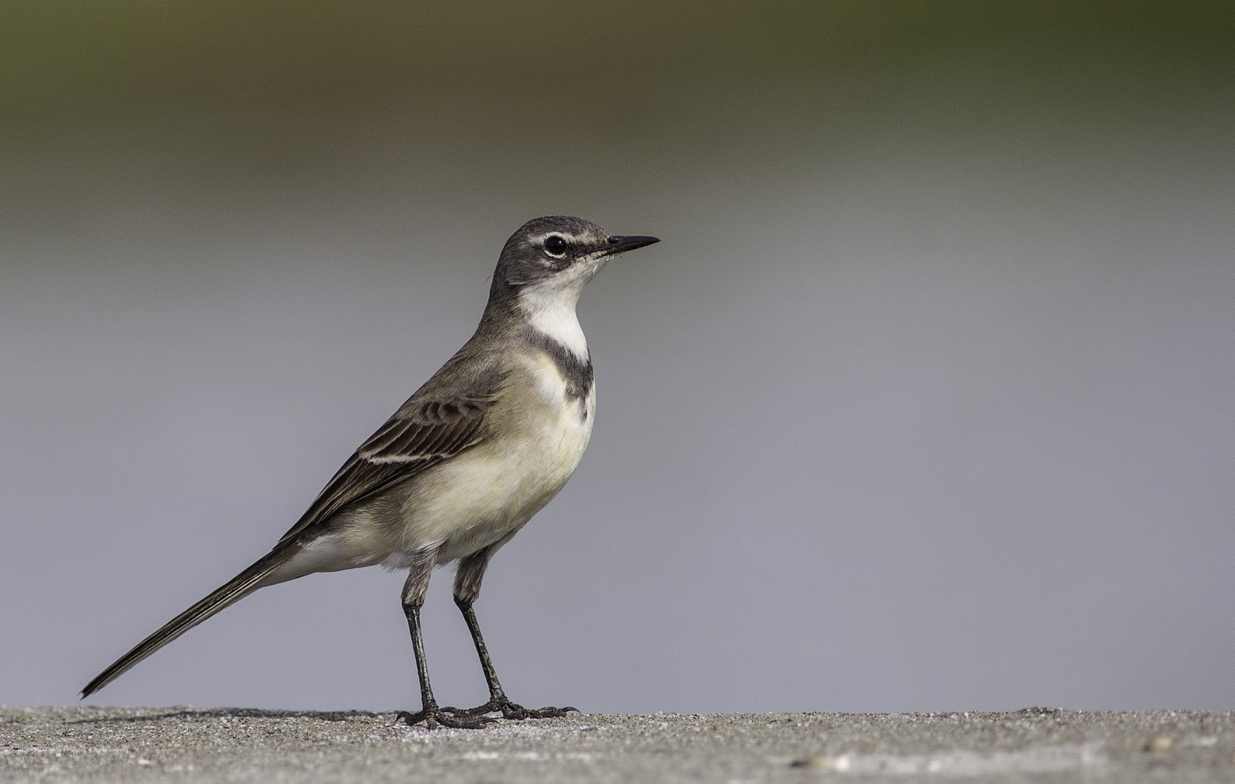 Citrine Wagtail at Strandfontein Sewage Works