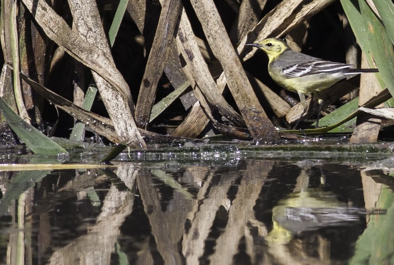 citrine wagtail in cape town