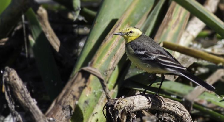 citrine wagtail strandfontein