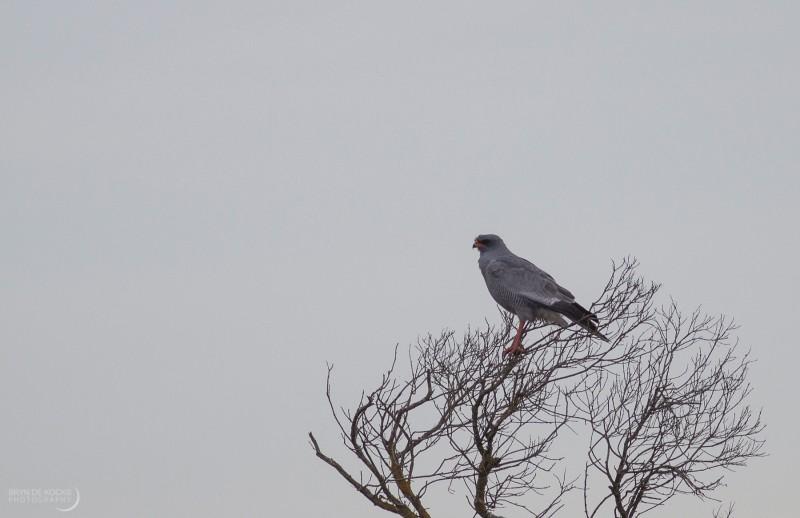 Pale Chanting Goshawk in the De Hoop Nature Reserve