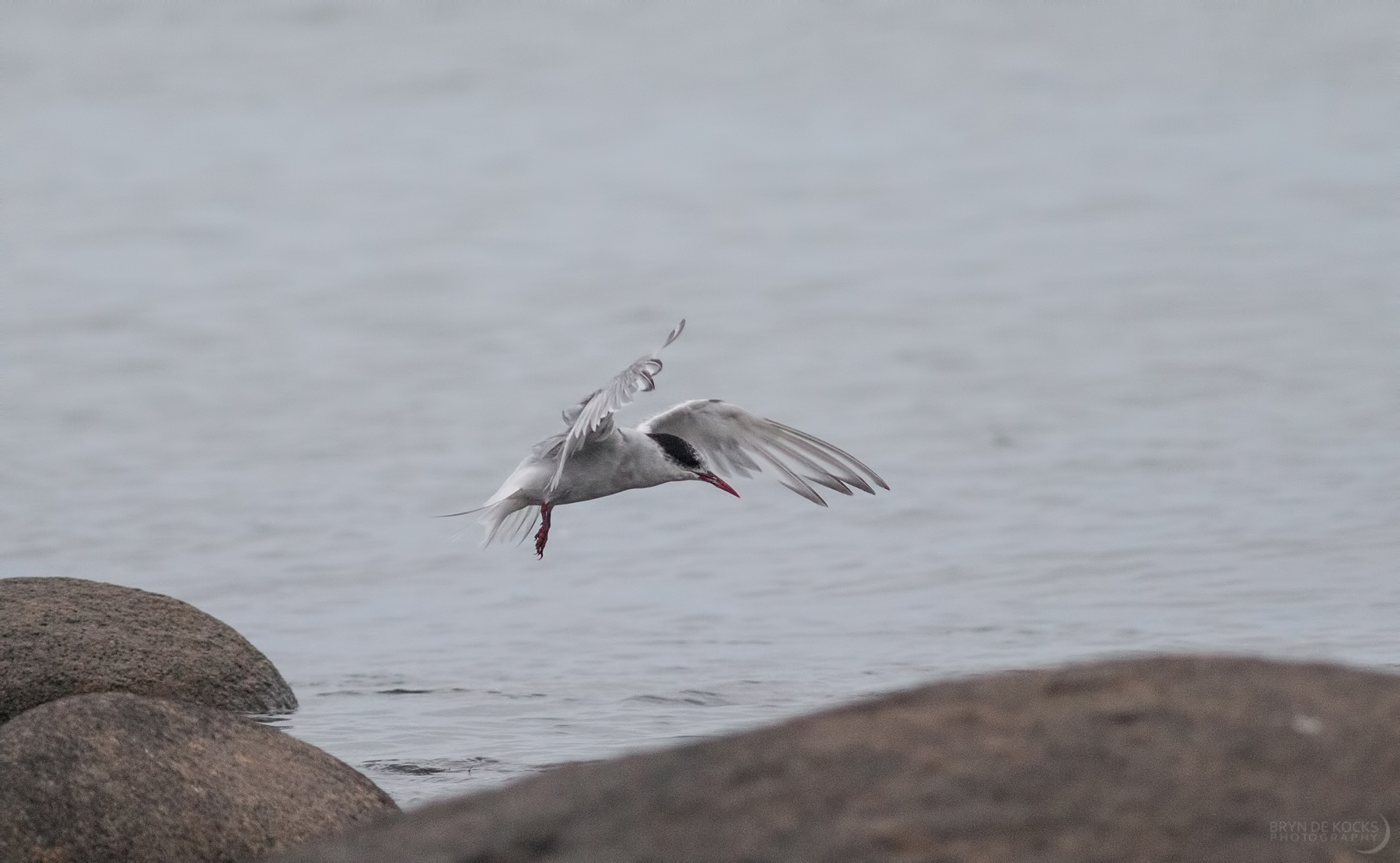 antarctic-tern-flight-jacobs-bay