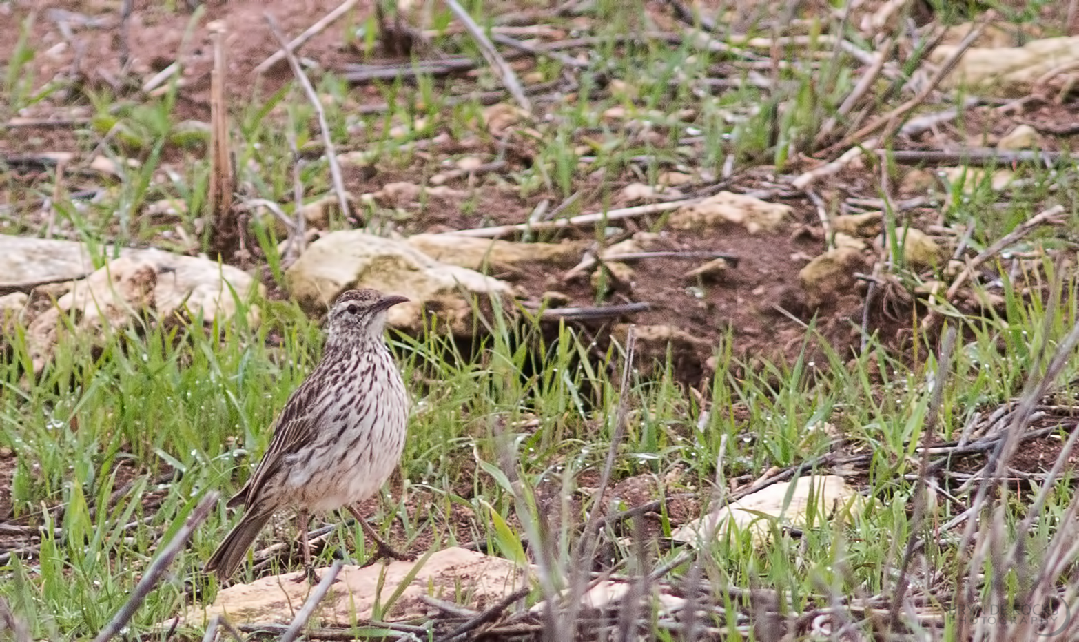 cape-long-billed-lark