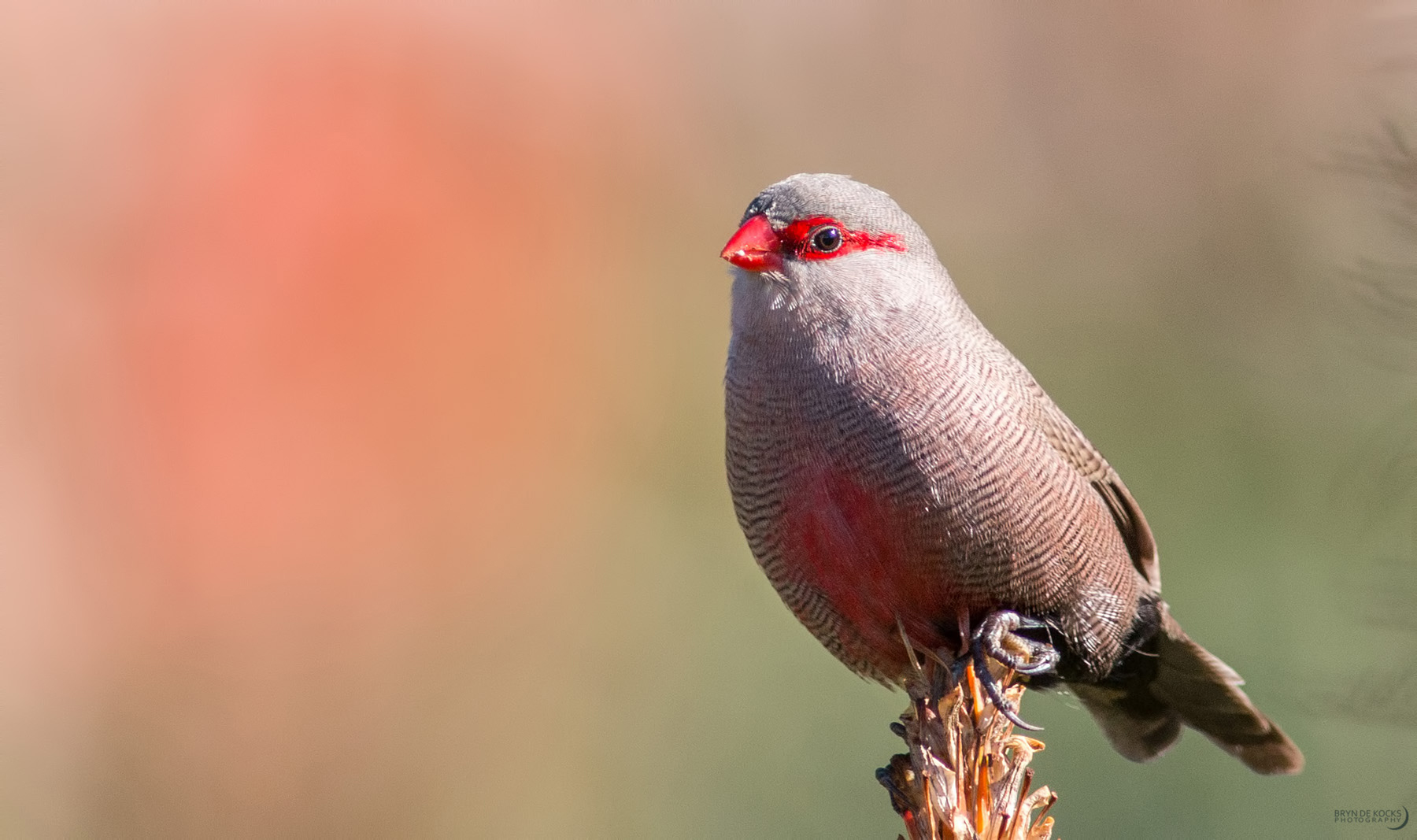 common-waxbill