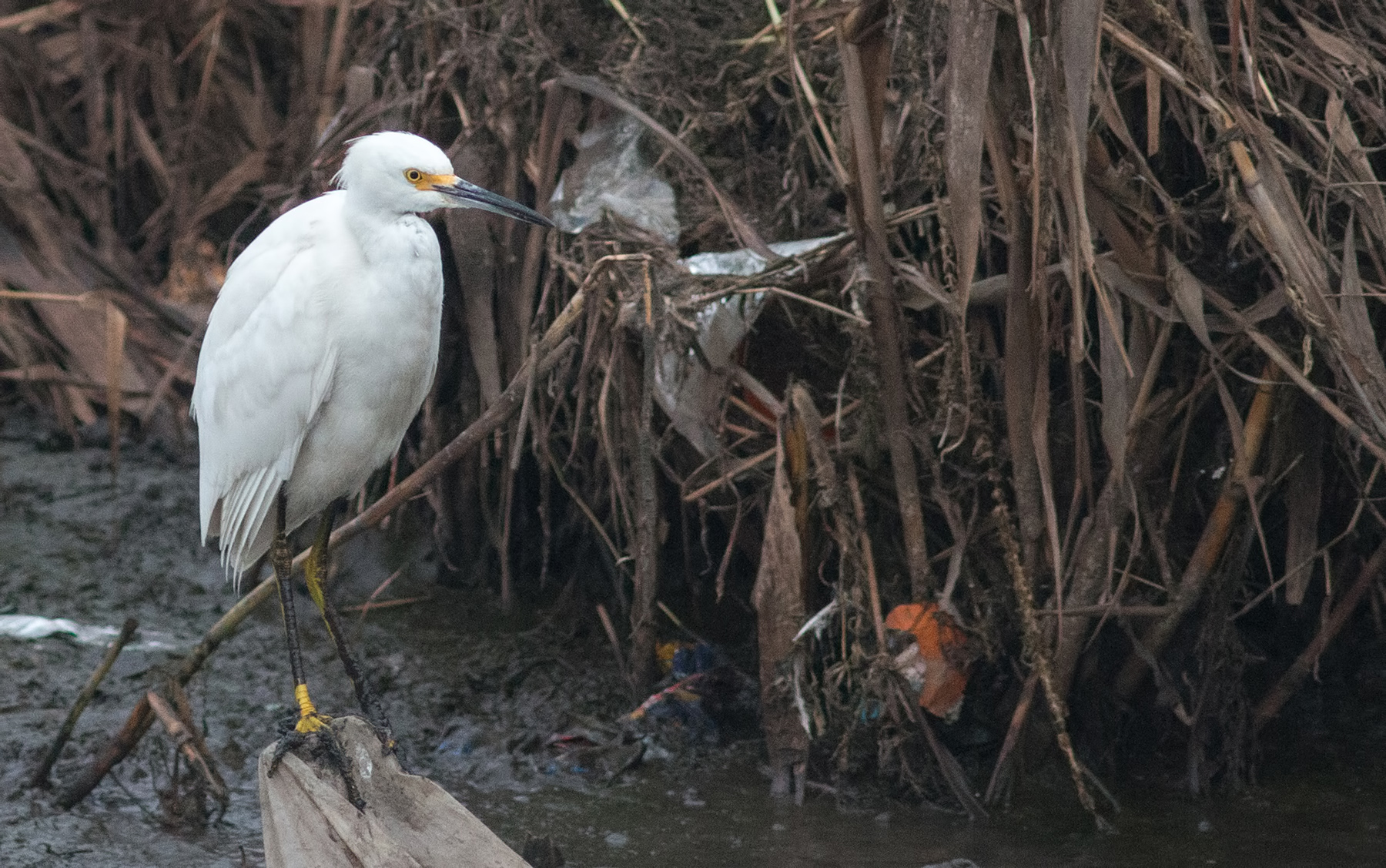 egret-perched-snowy