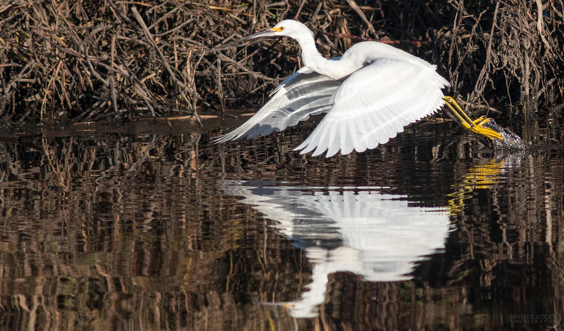 egret-snowy-cape-town