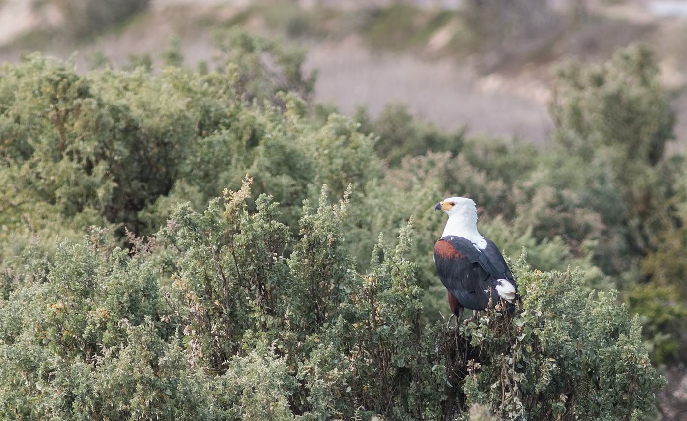 fish-eagle-perched