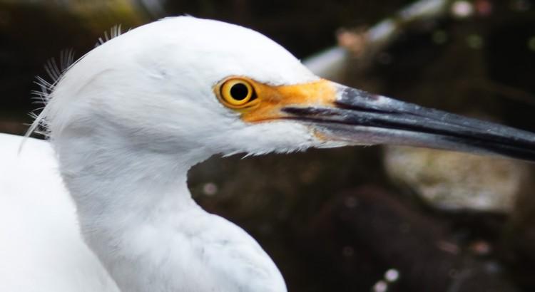 snowy-egret-feat