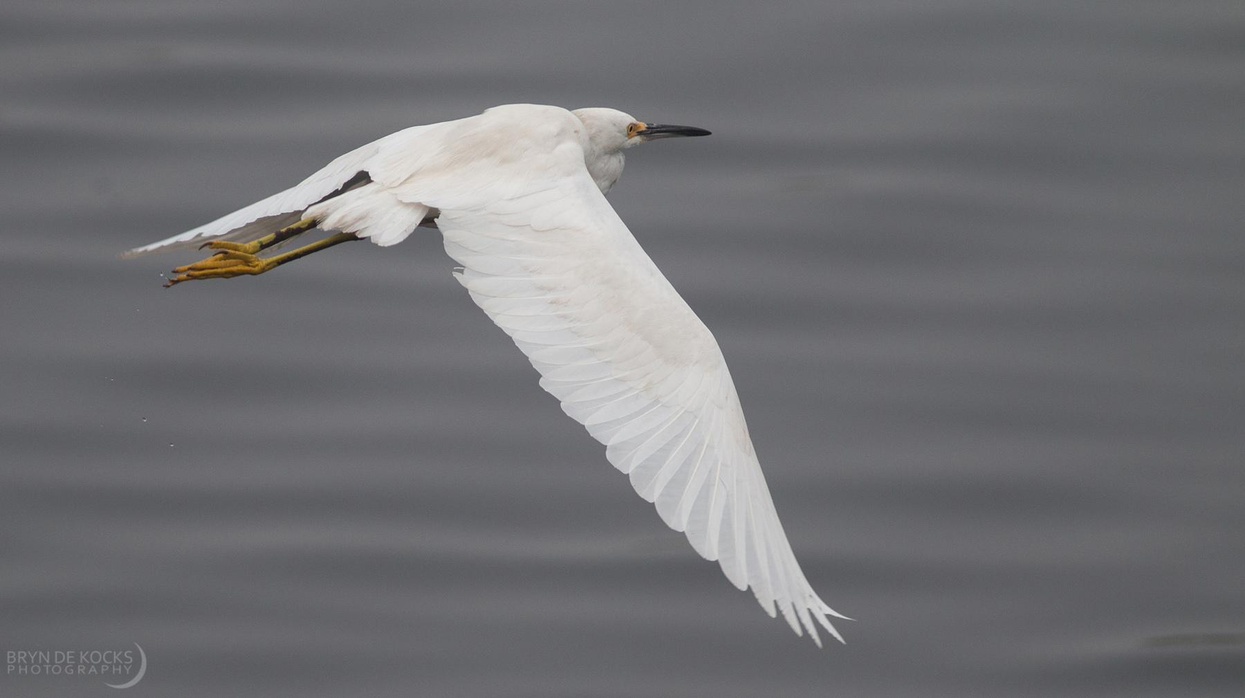 snowy-egret-flight