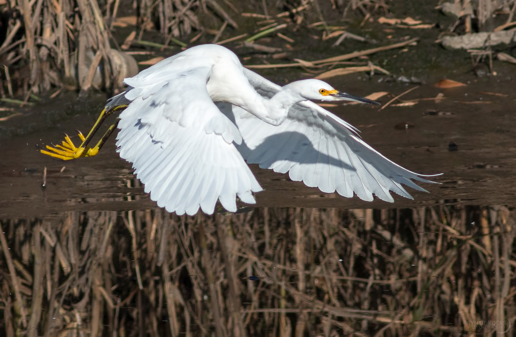 snowy-egret-flight