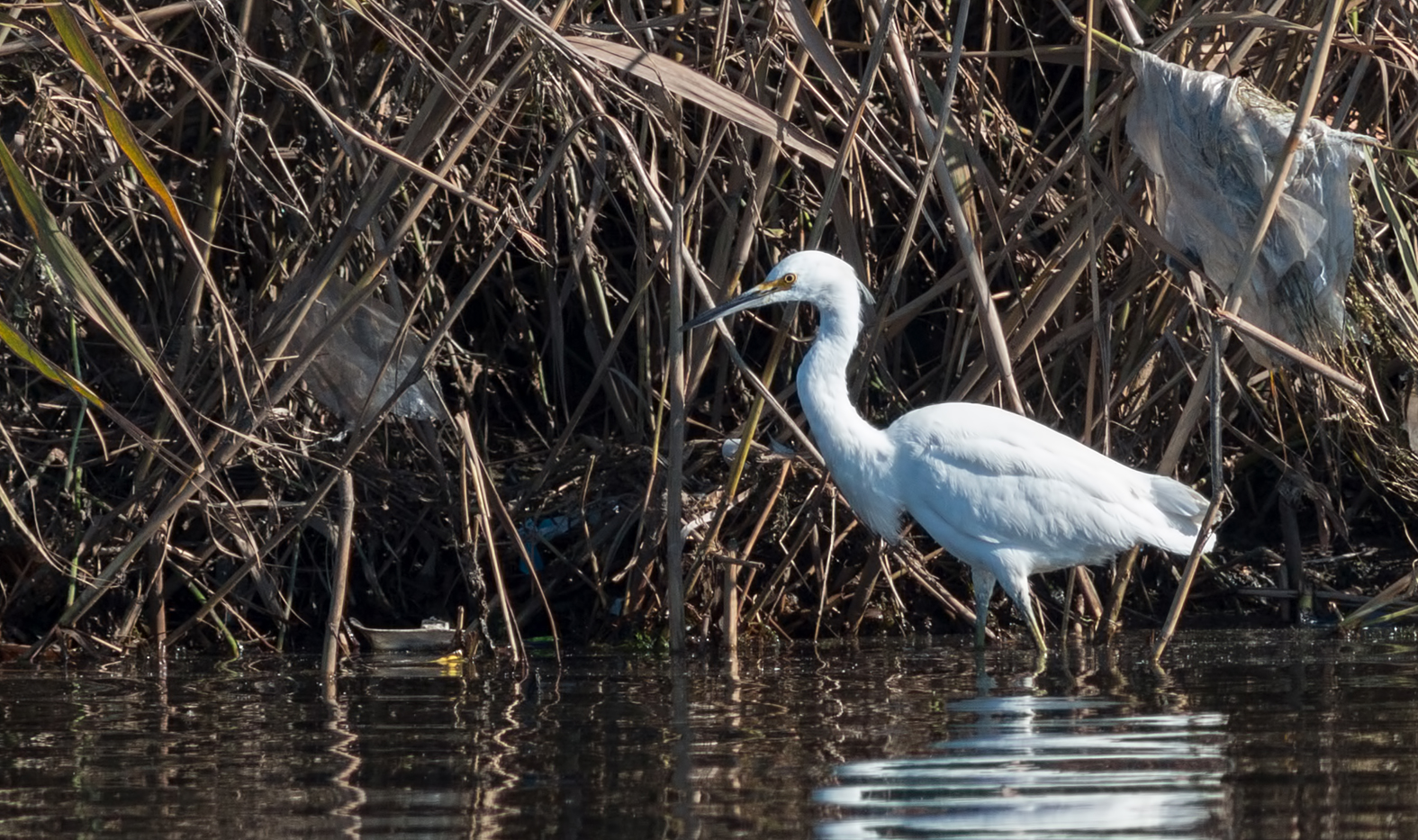 snowy-egret-south-africa