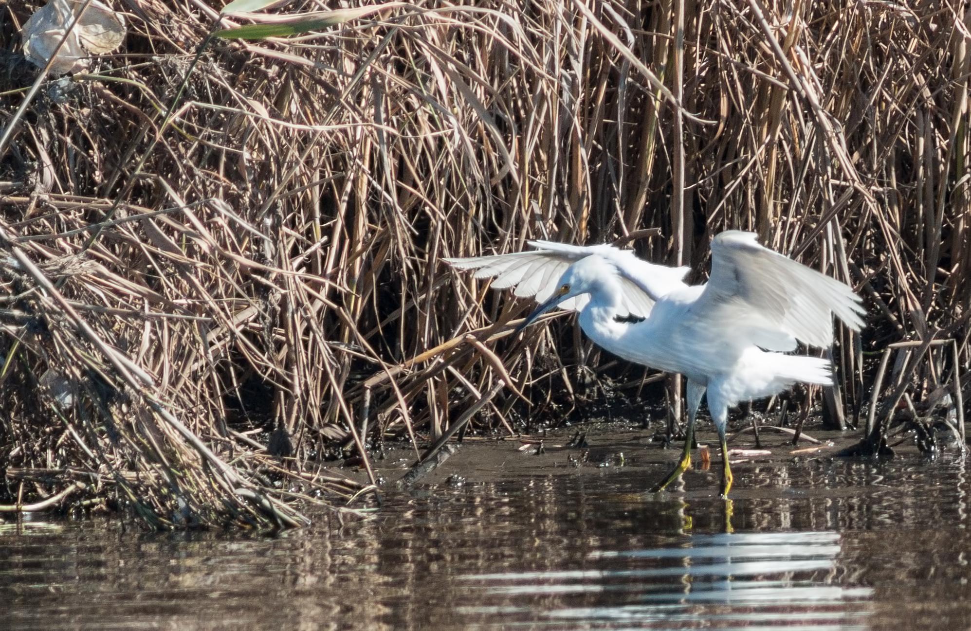 snowy-egret-twitch