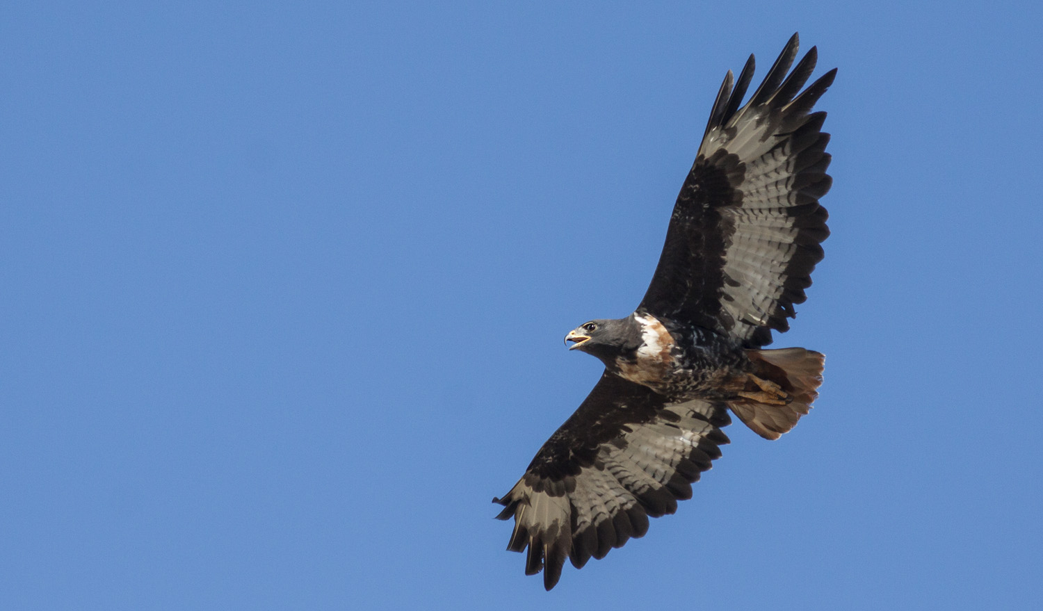 Jackal Buzzard Adult