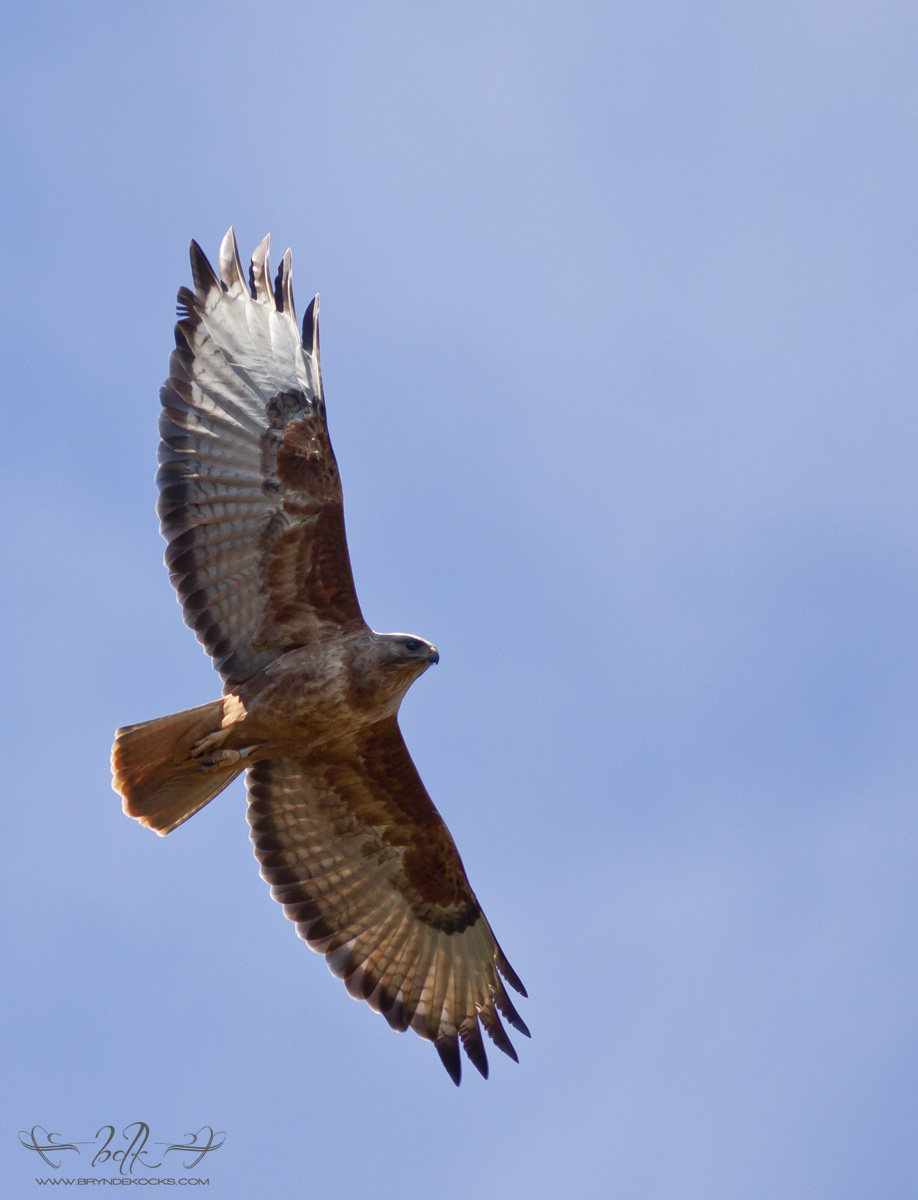 Cape Buzzard