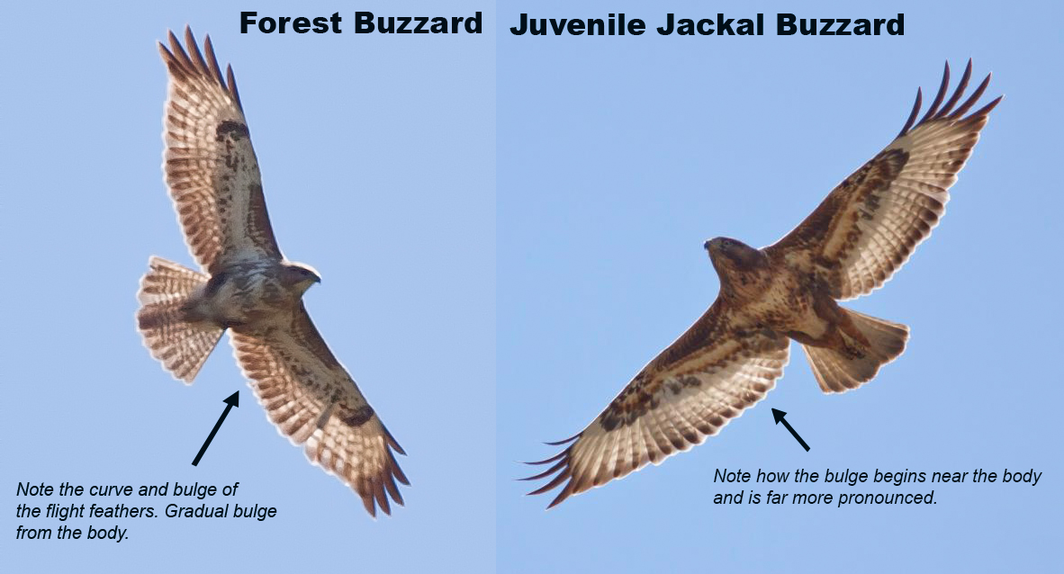 Forest Buzzard vs Jackal Buzzard
