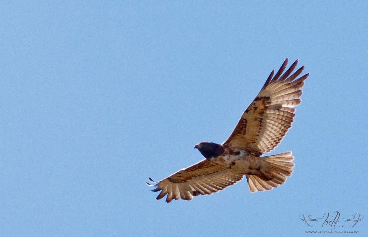 immature jackal buzzard