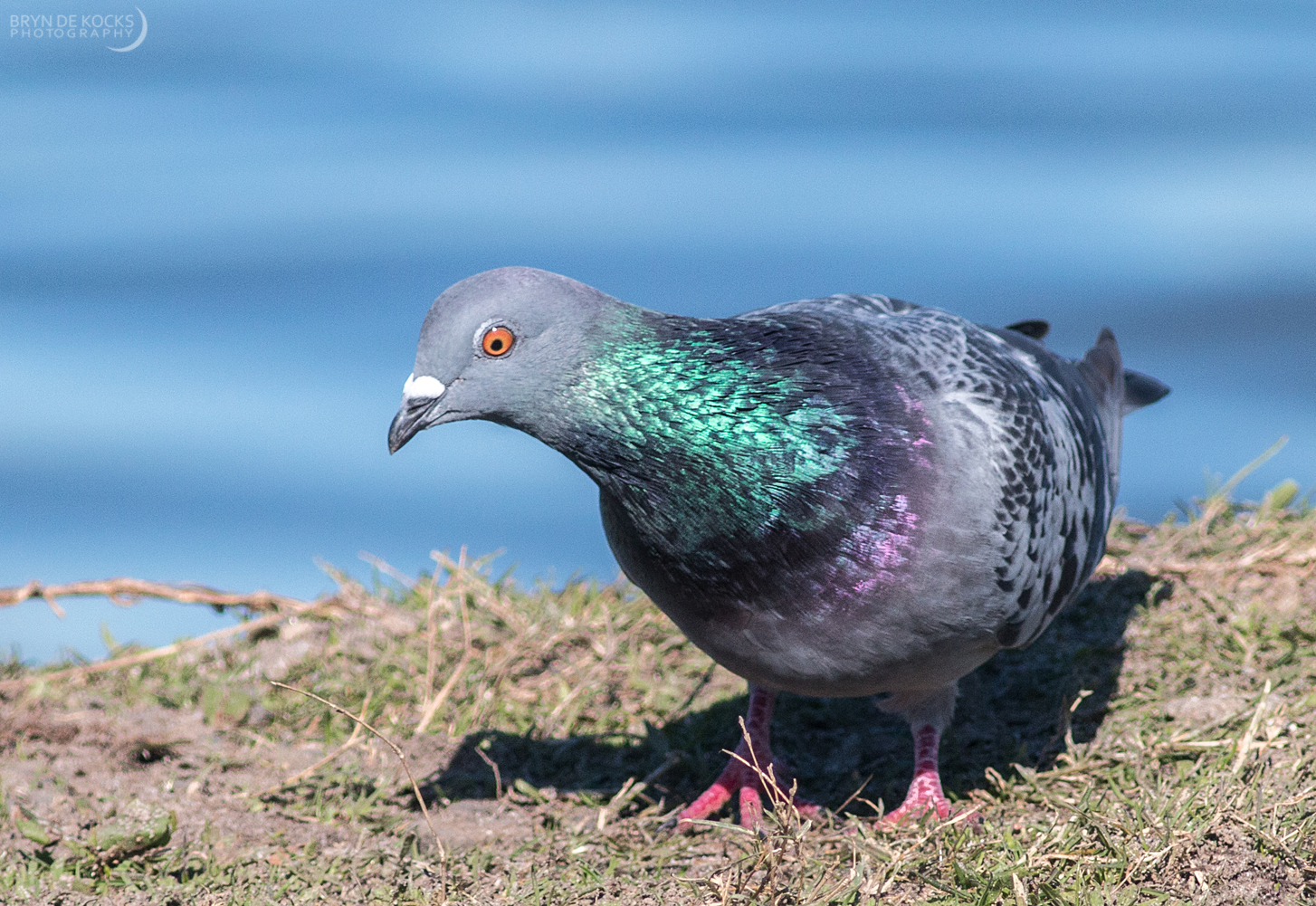 Feral Pigeon / Rock Dove