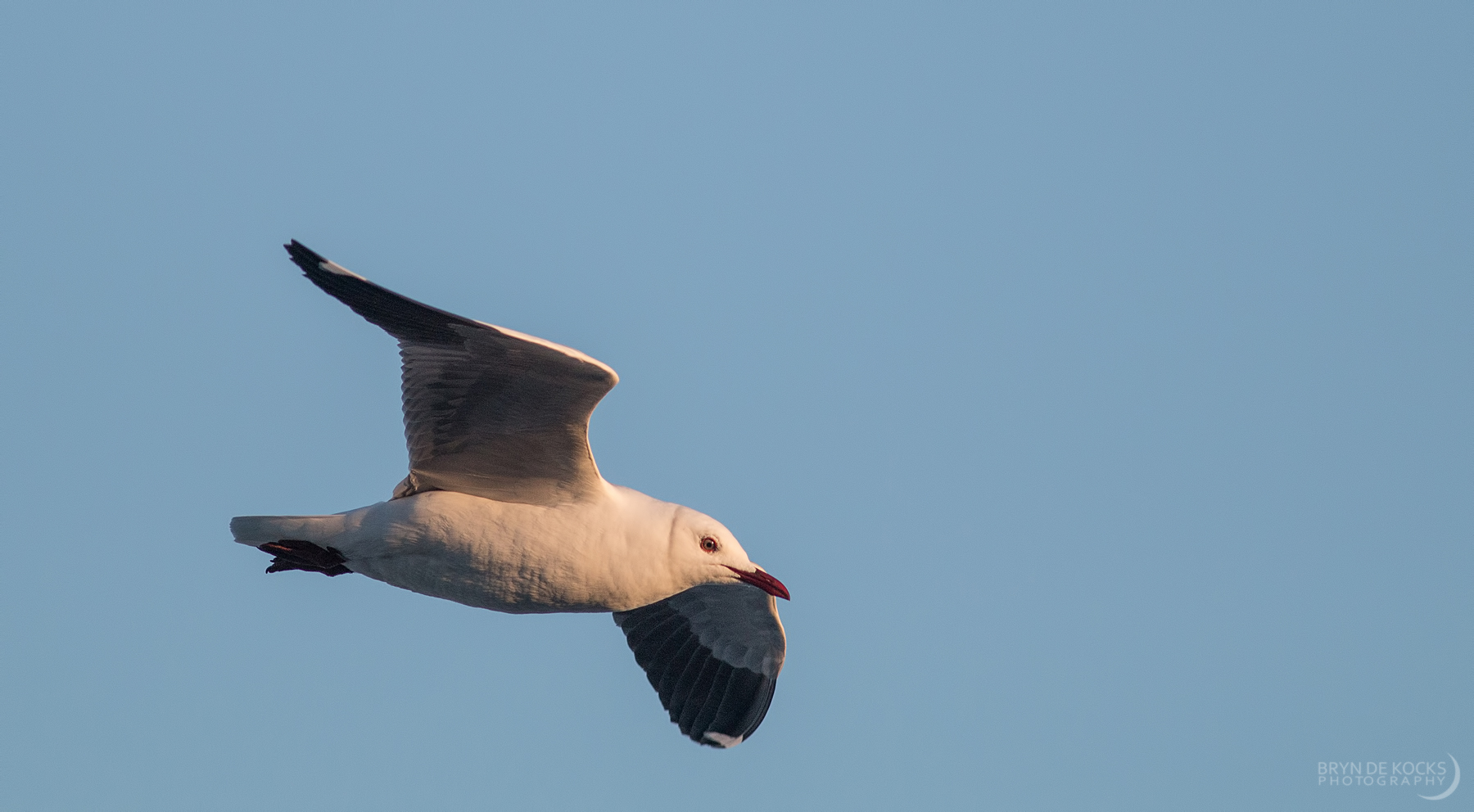 Grey Headed Gull