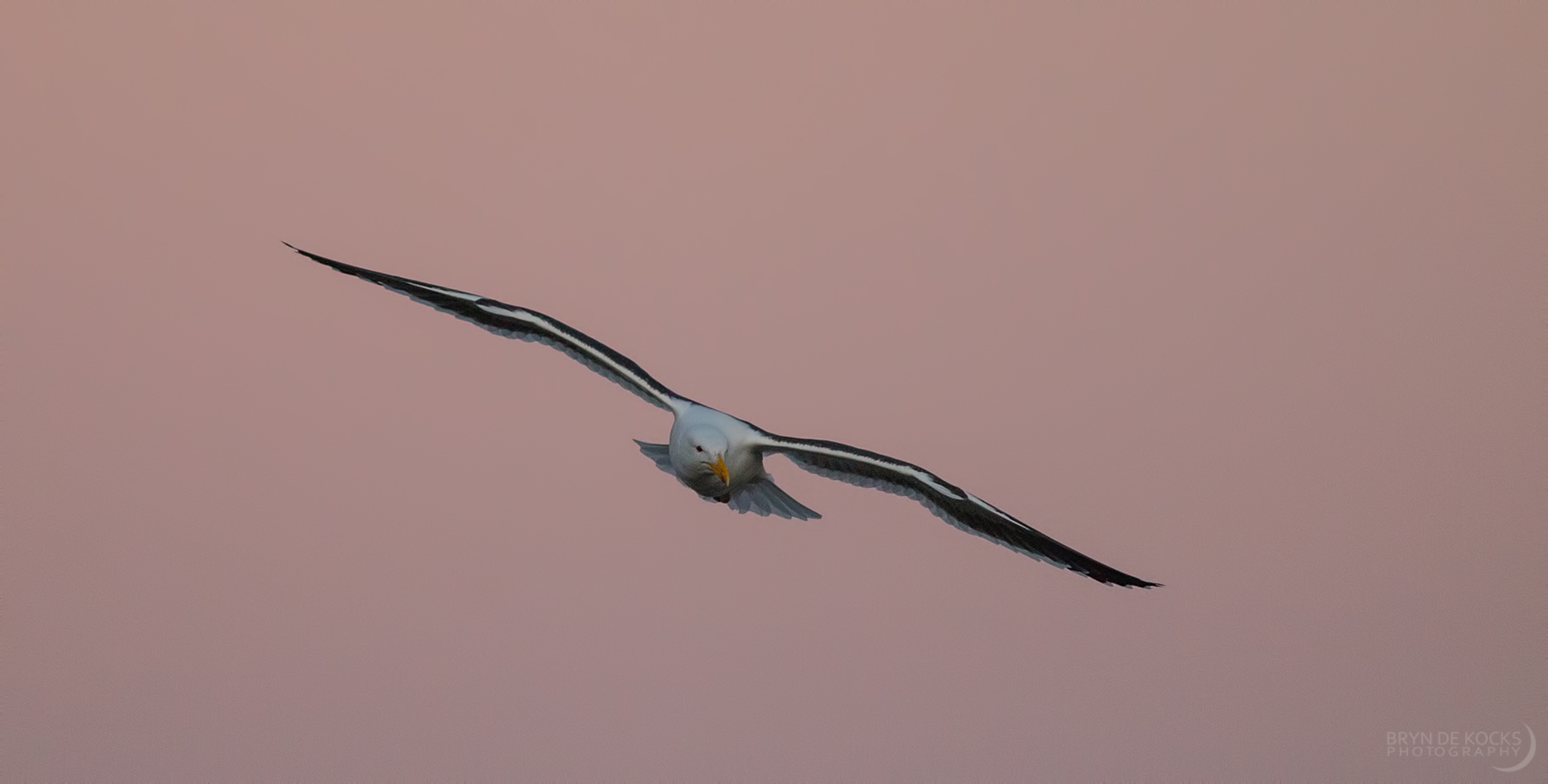 Kelp Gull Sunset