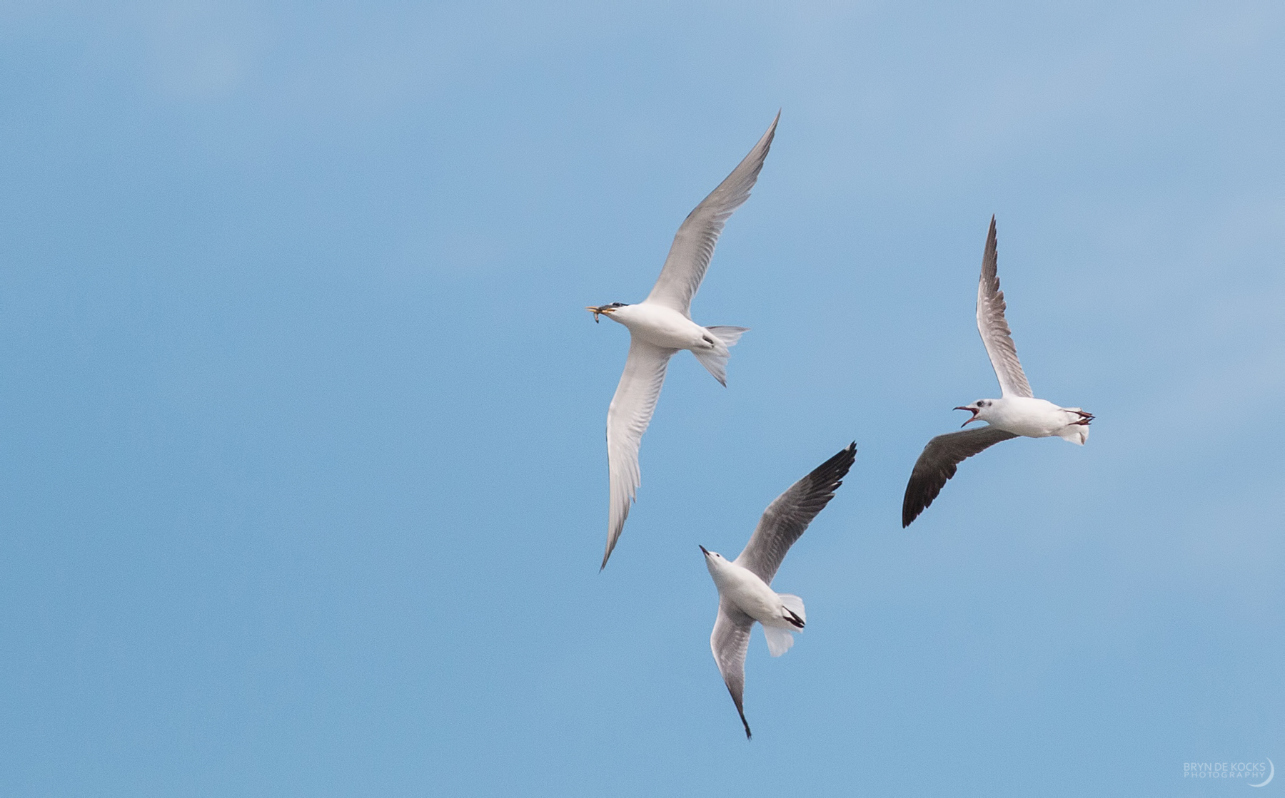 Gulls and Tern