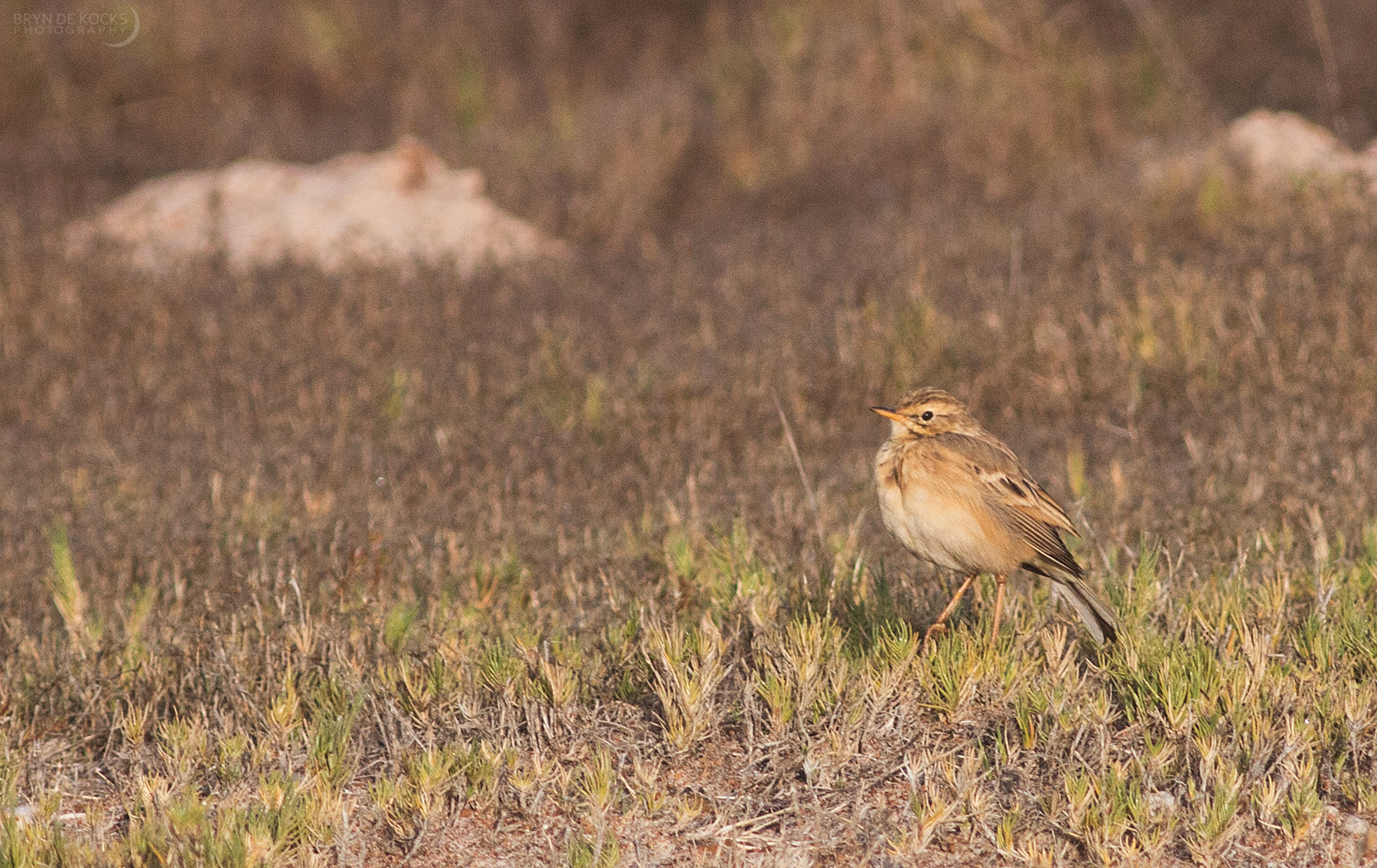 african-pipit
