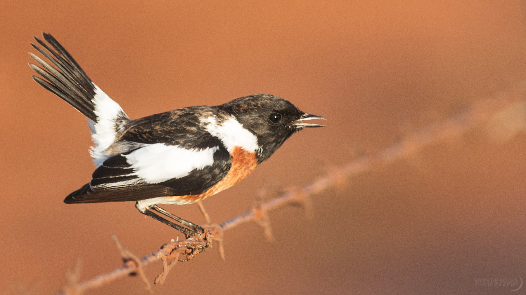african-stonechat
