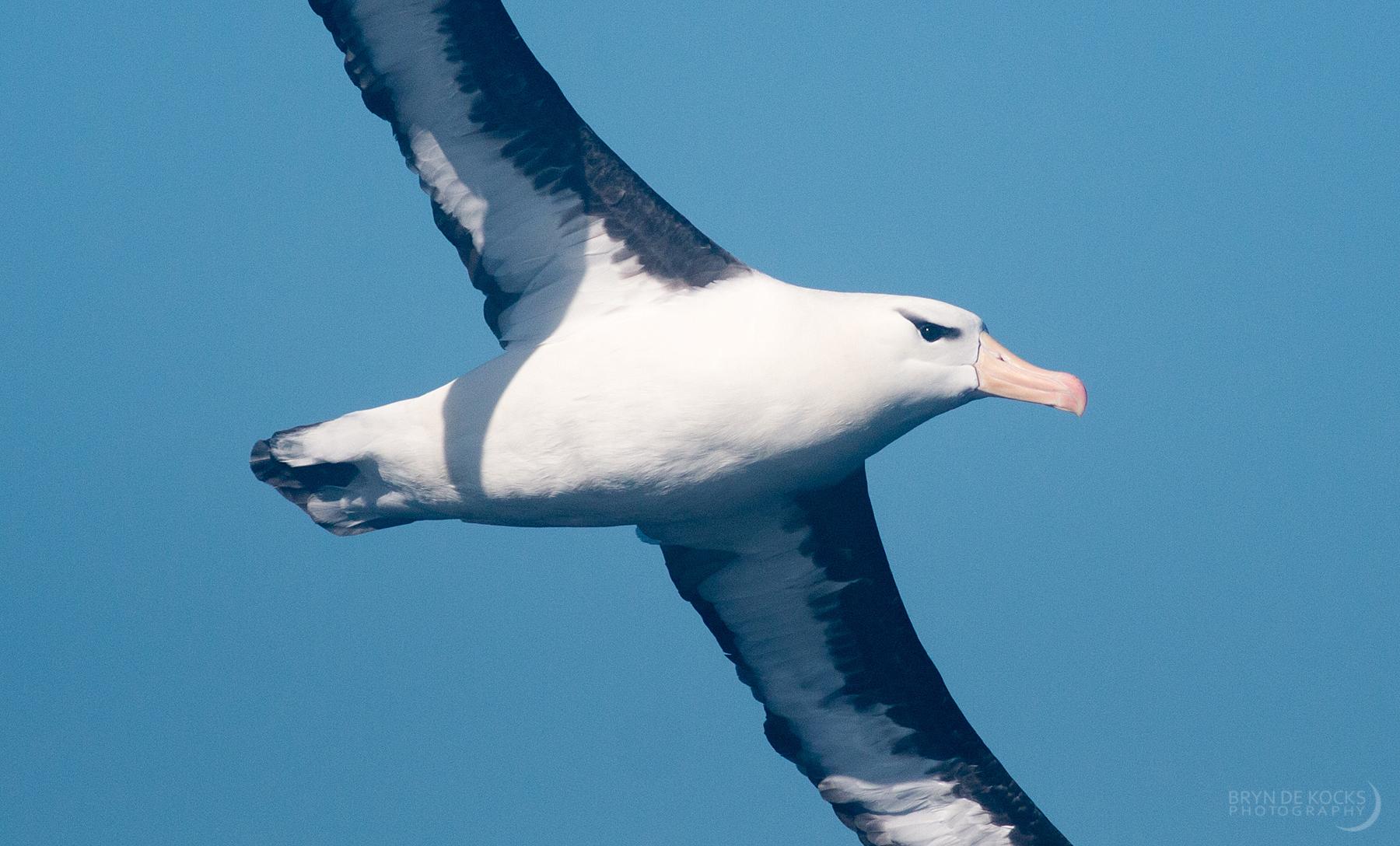 albatross-close-up