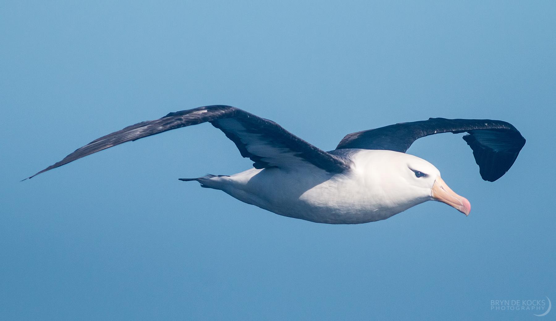 black-brow-albatross-adult