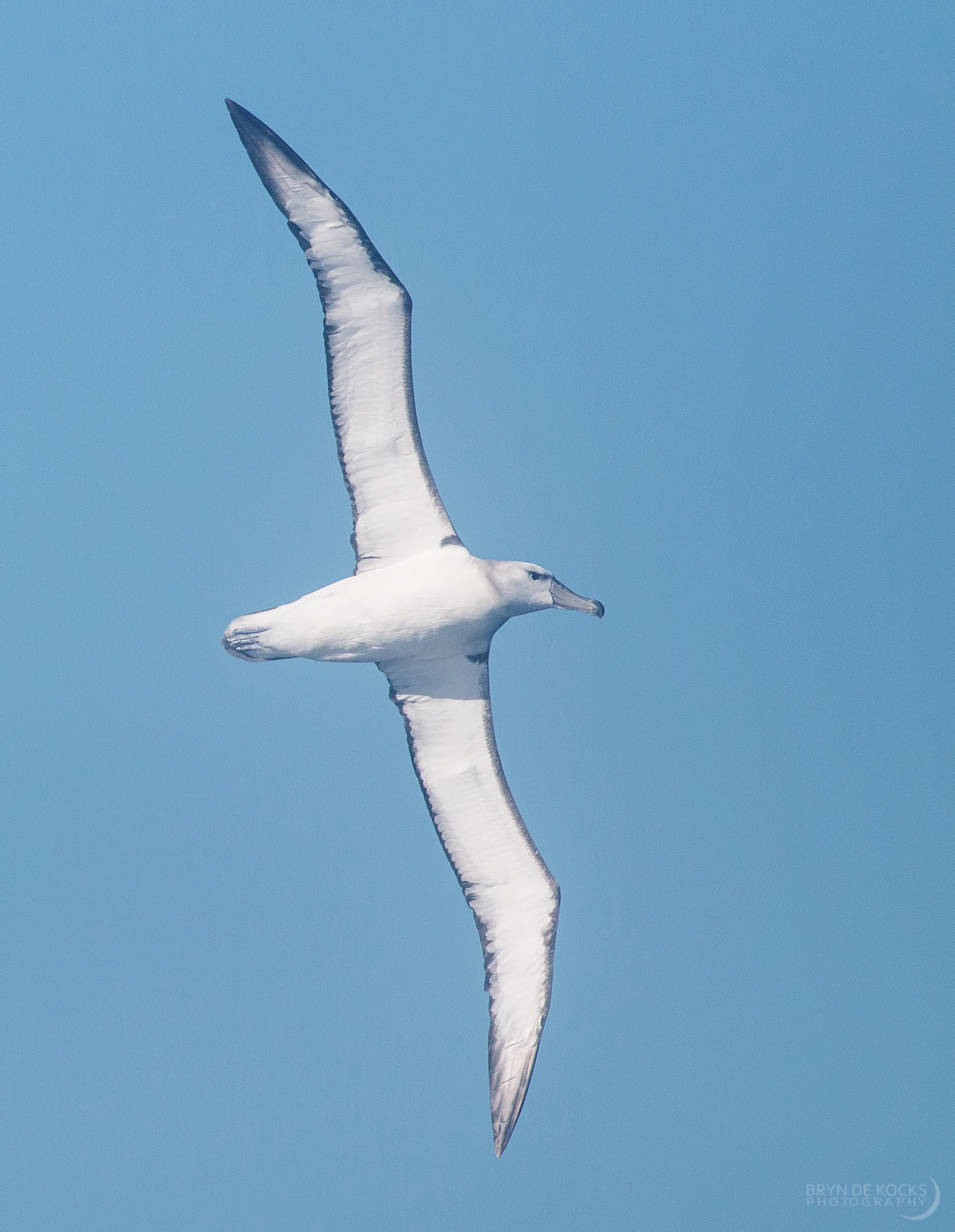 juvenile shy albatross