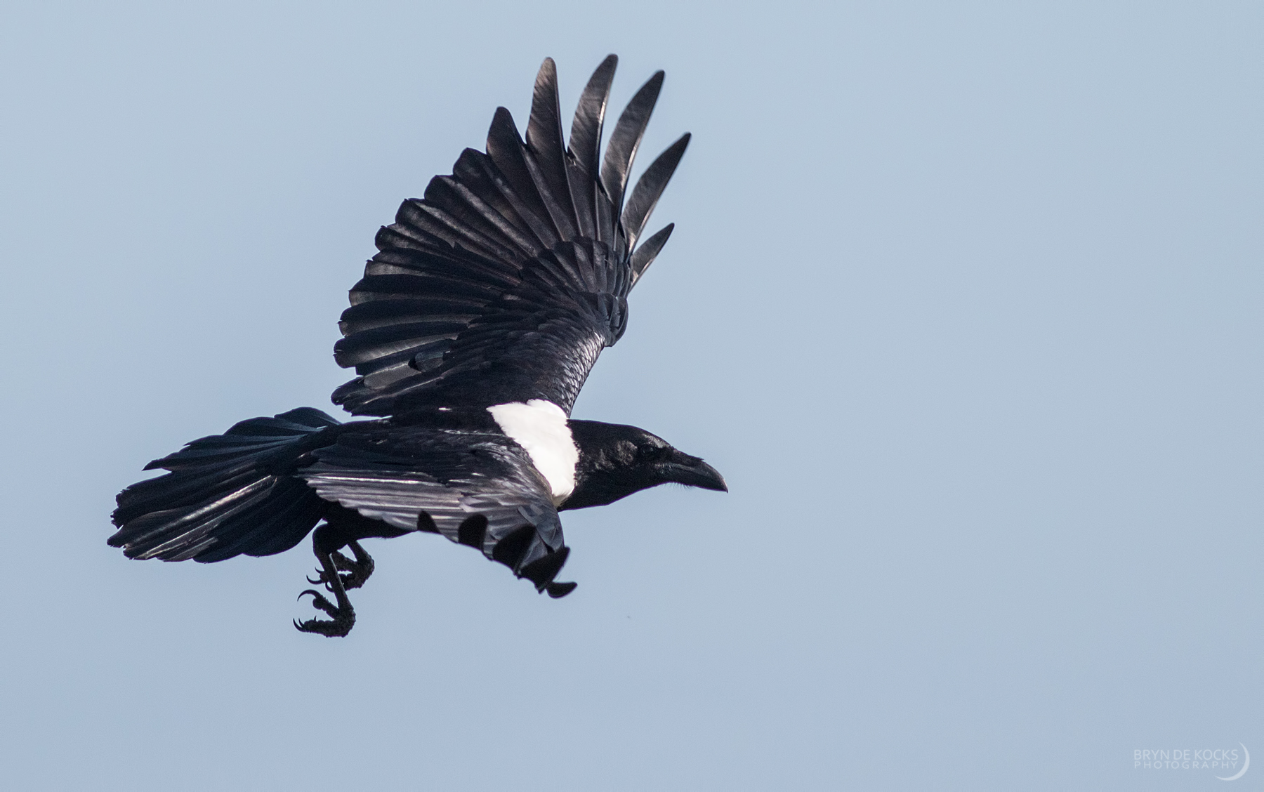 pied-crow-wcnp