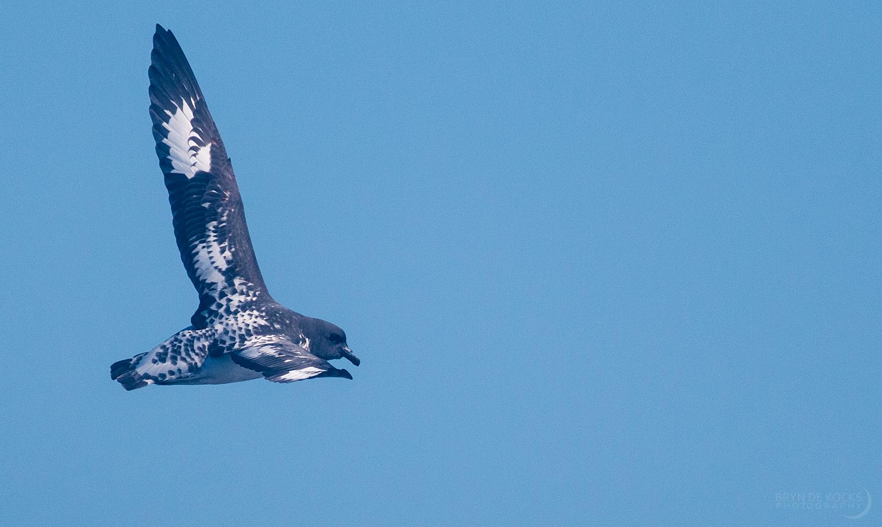 pintado-petrel-pelagic