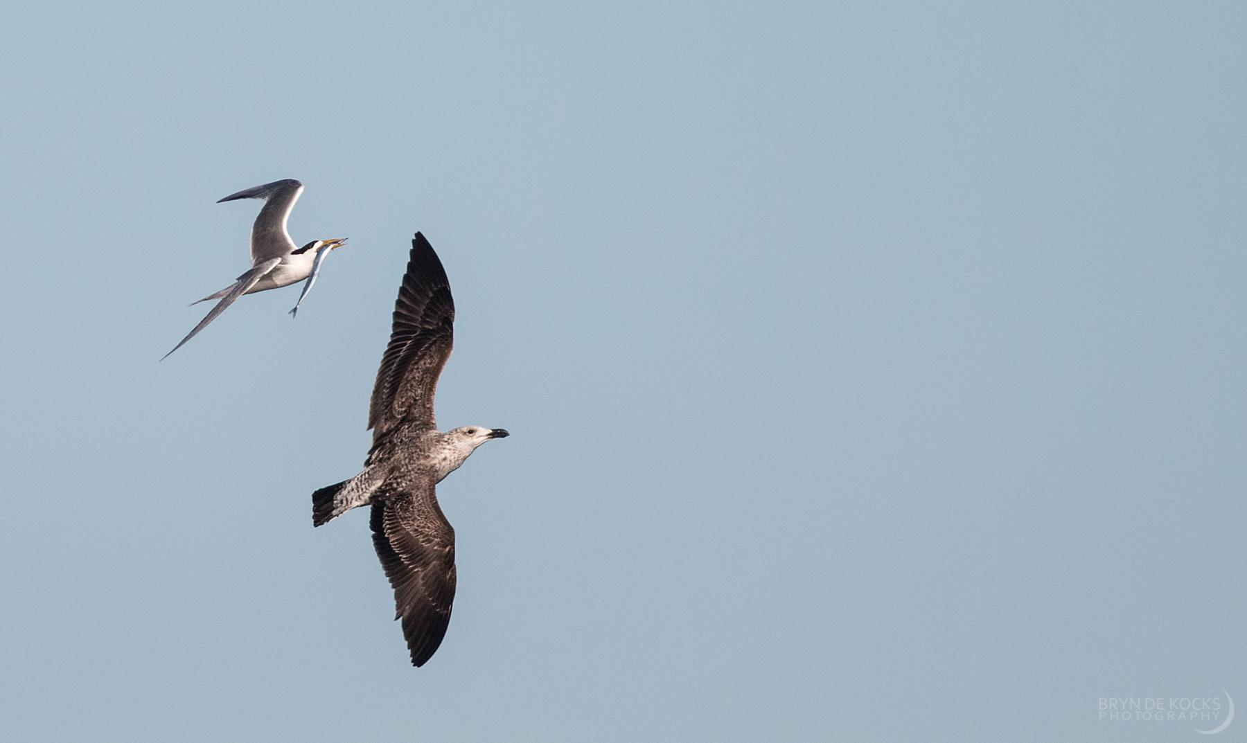 swift-tern-kelp-gull
