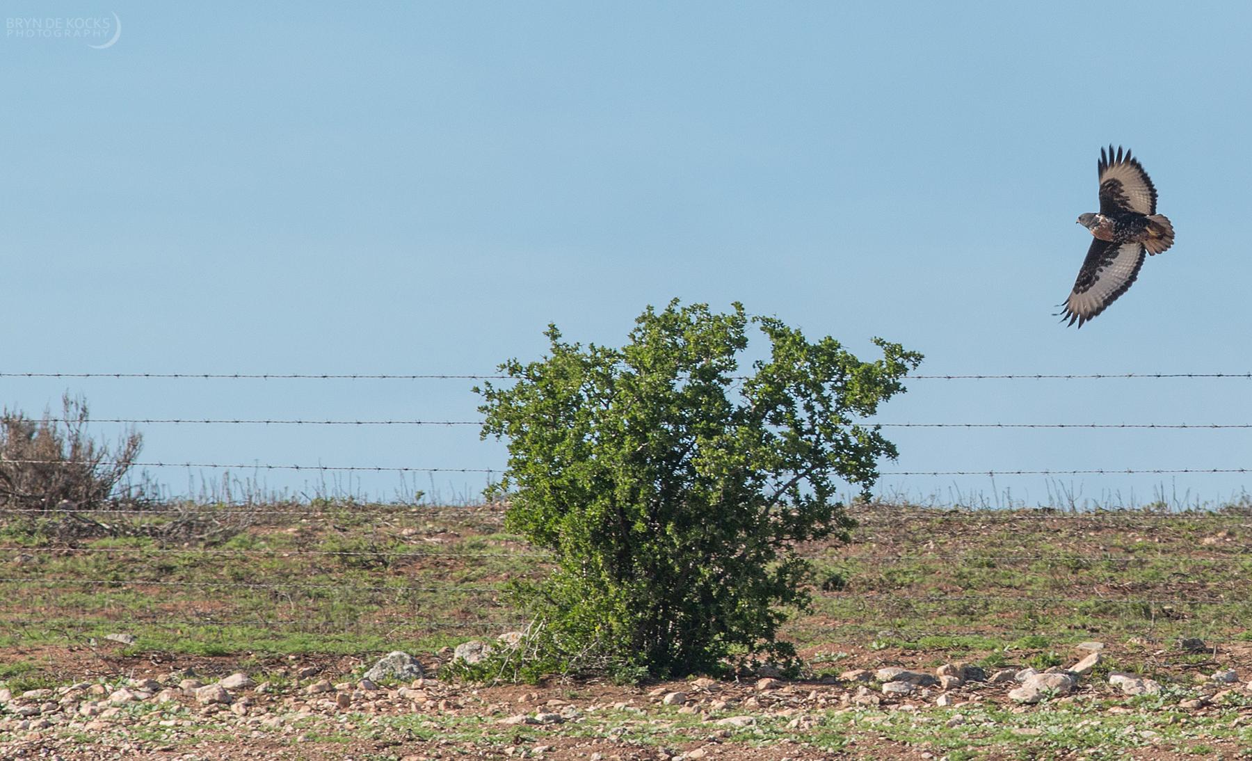 jackal-buzzard