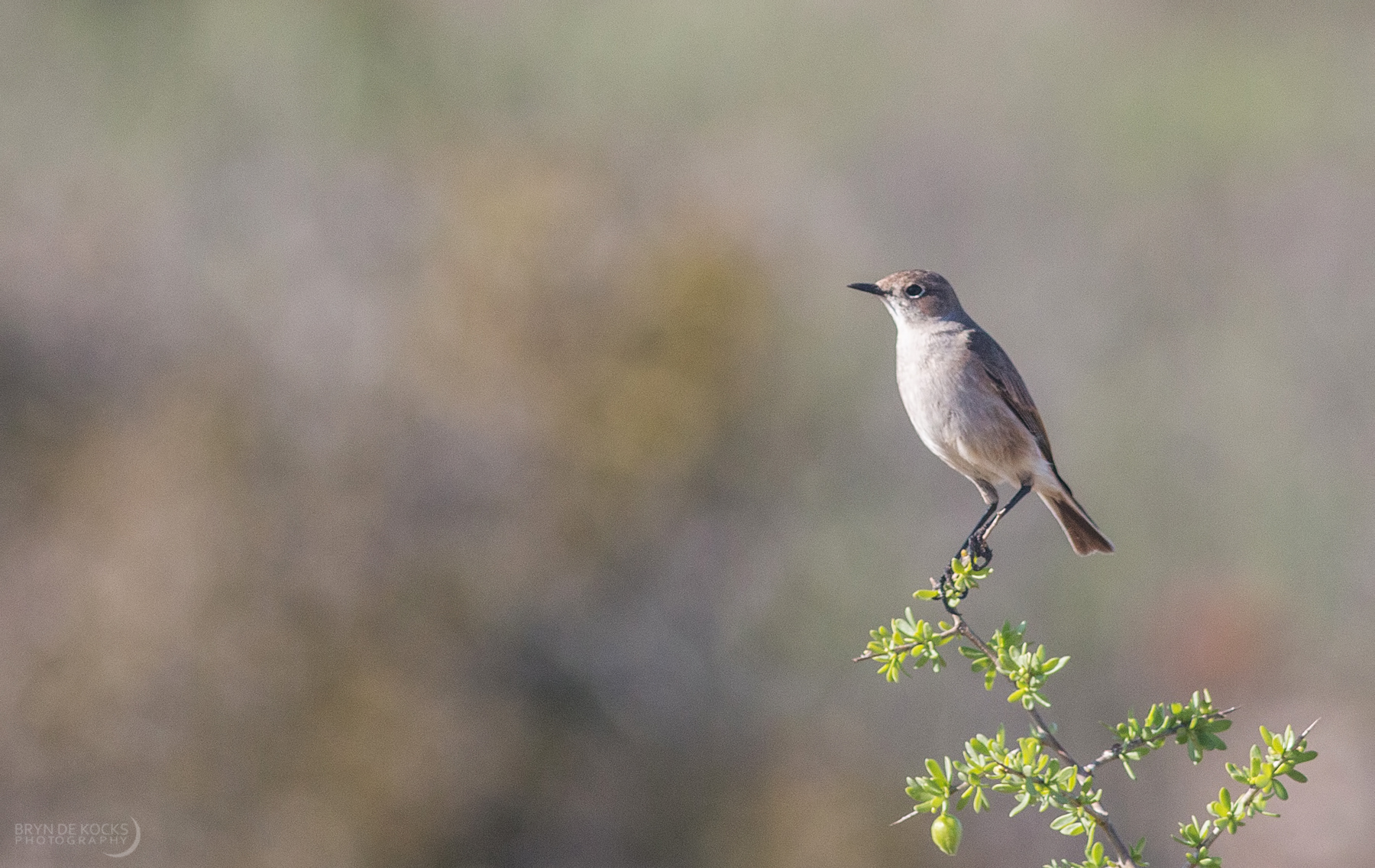 sickle-winged-chat