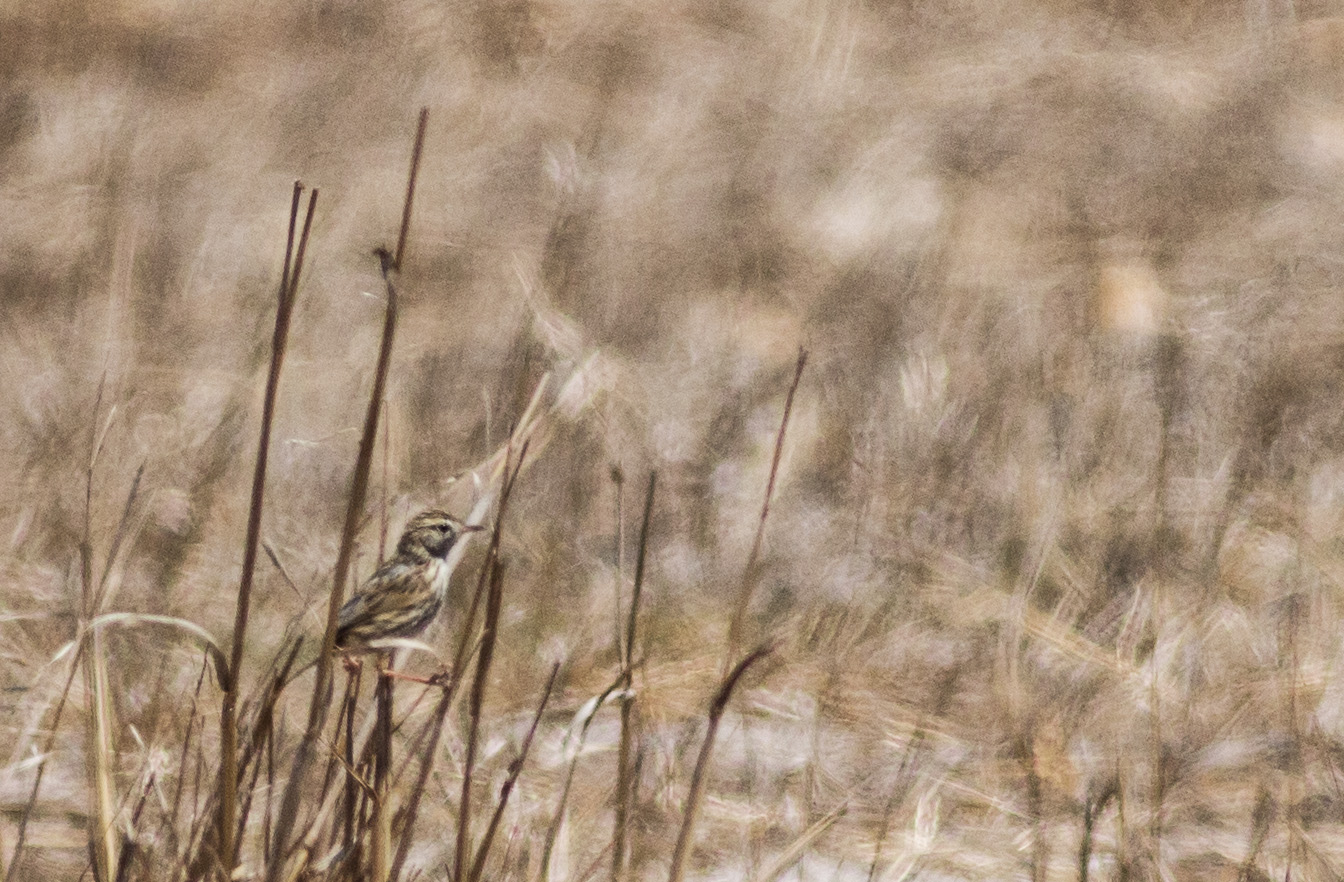 cloud-cisticola