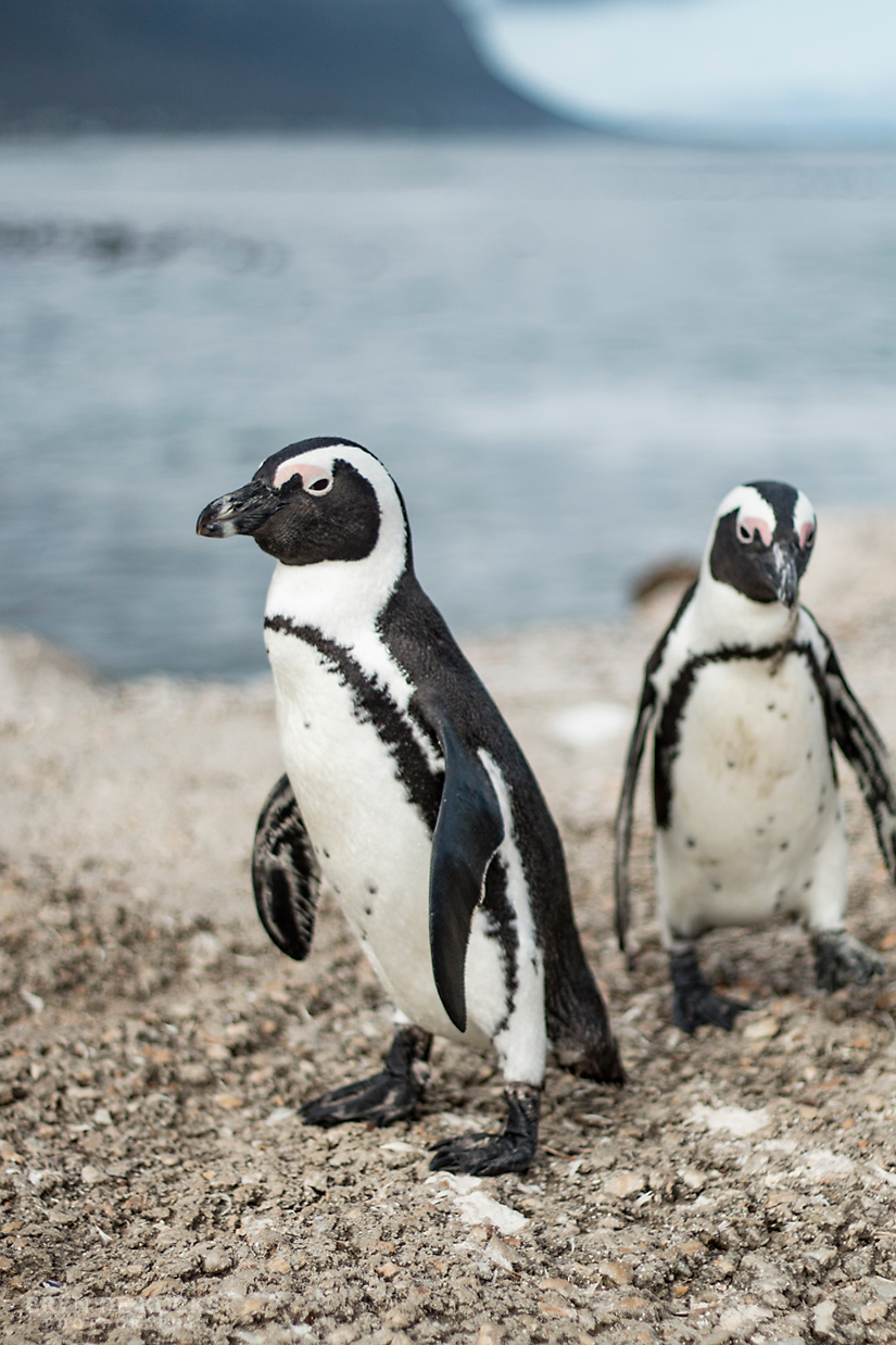 African Penguins-duo
