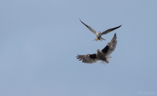 A Pair of Black Shoulder Kites Interact In Flight