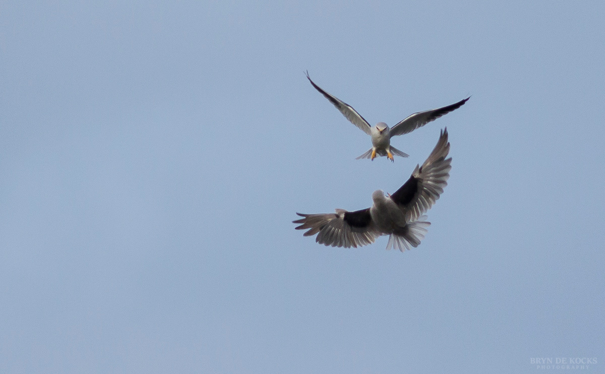 A Pair of Black Shoulder Kites Interact In Flight