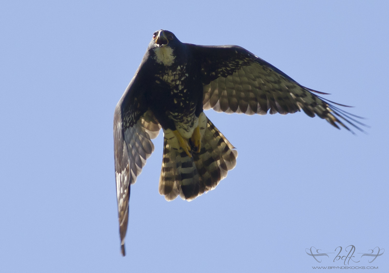 Black Sparrowhawk Calling While Flying Overhead