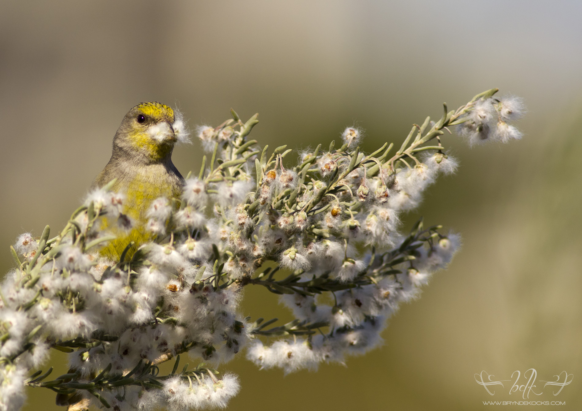 Cape Canary With Nesting Material At Intaka