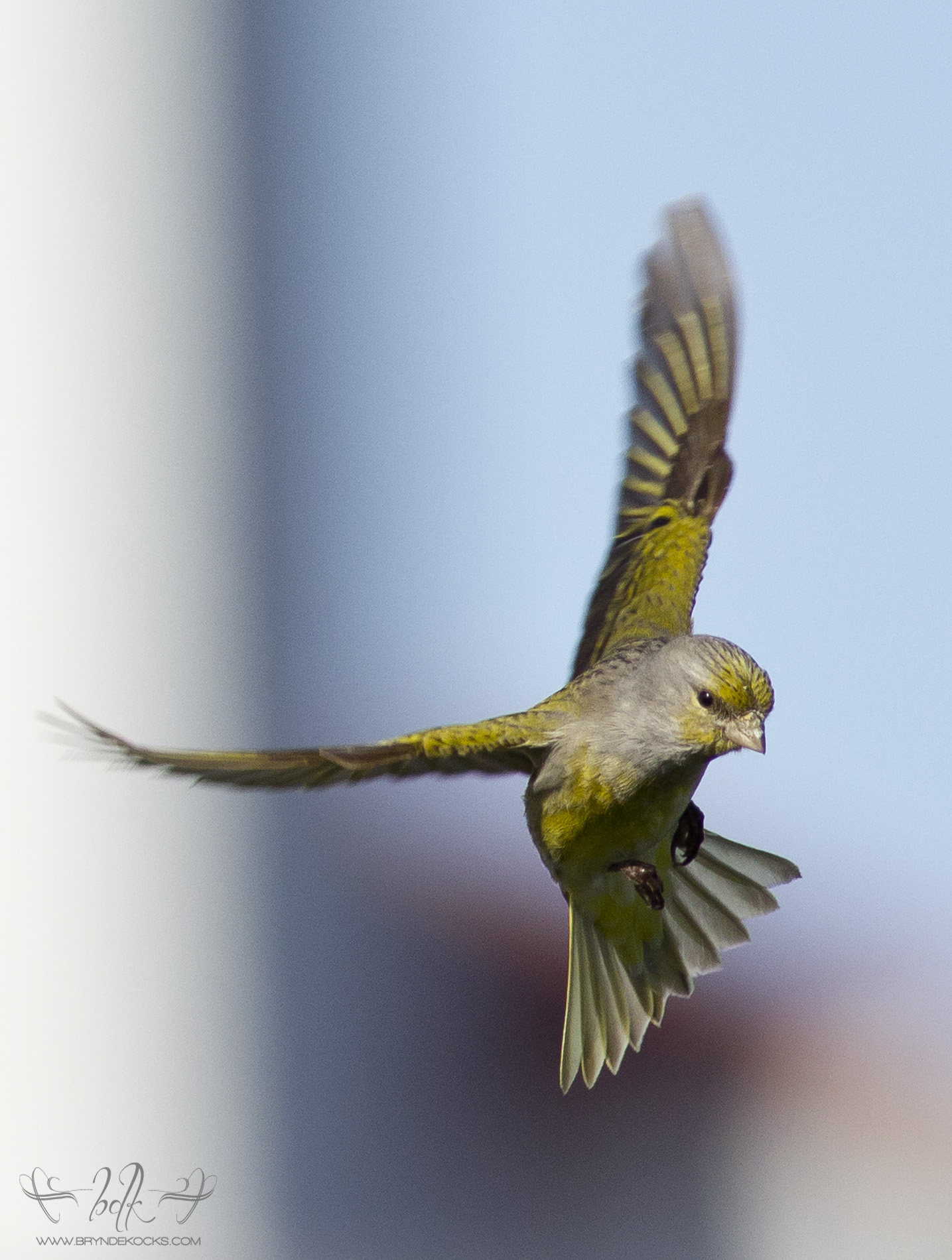 Cape Canary in Flight