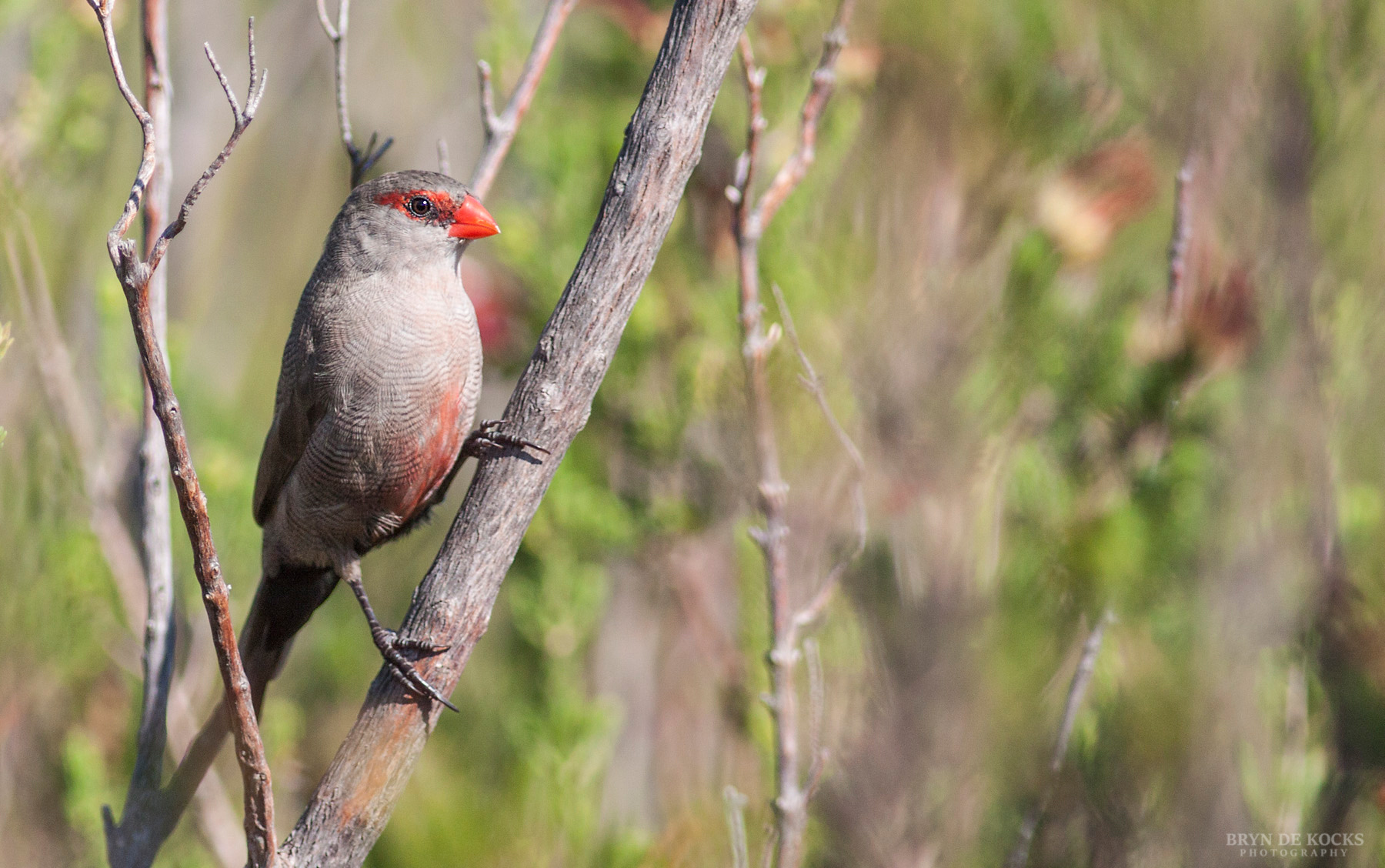 Common Waxbill at Kirstenbosch Gardens