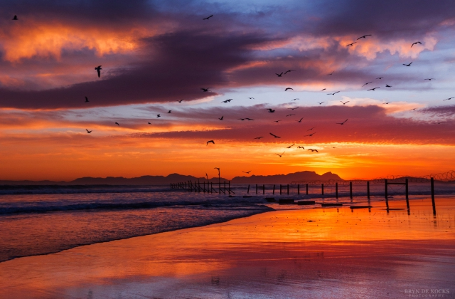 Gulls and Terns flying in front of sunset