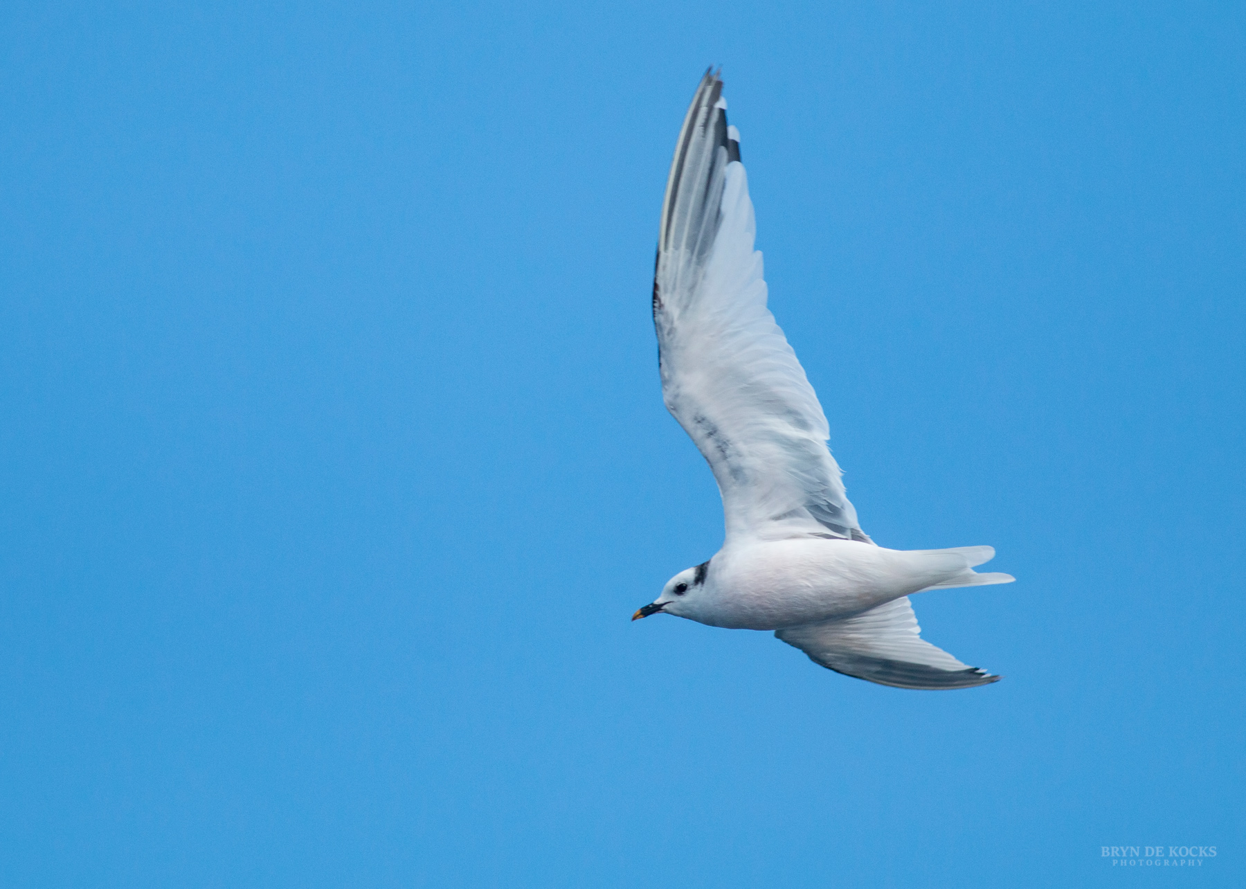 Sabine's Gull Flight