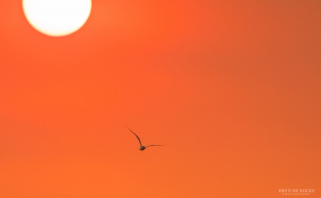 A Tern Flies Under a Setting Sun