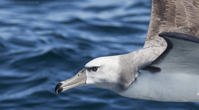 Close Up Of An Albatross
