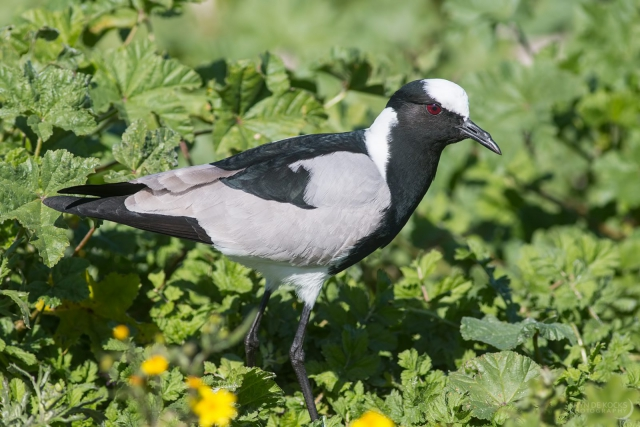 Blacksmith Lapwing at Strandfontein Sewage Works